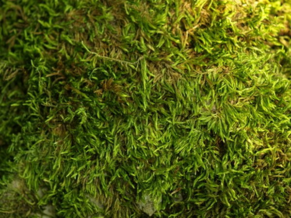 Moss Can Grow On A Lawn For Several Different Reasons You Will Not Be Able To Stop The Moss From Coming Back Once Growing Moss Outside Plants Pergola Pictures