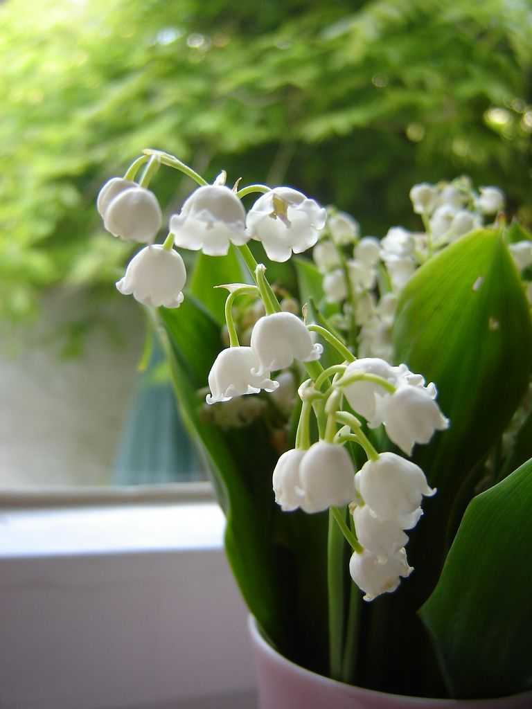 Growing lily of the valley in pots learn about lily of the valley since lily of the valley can do well in full shade to full sun its a versatile plant that can brighten up virtually any spot but can you grow lily of the izmirmasajfo