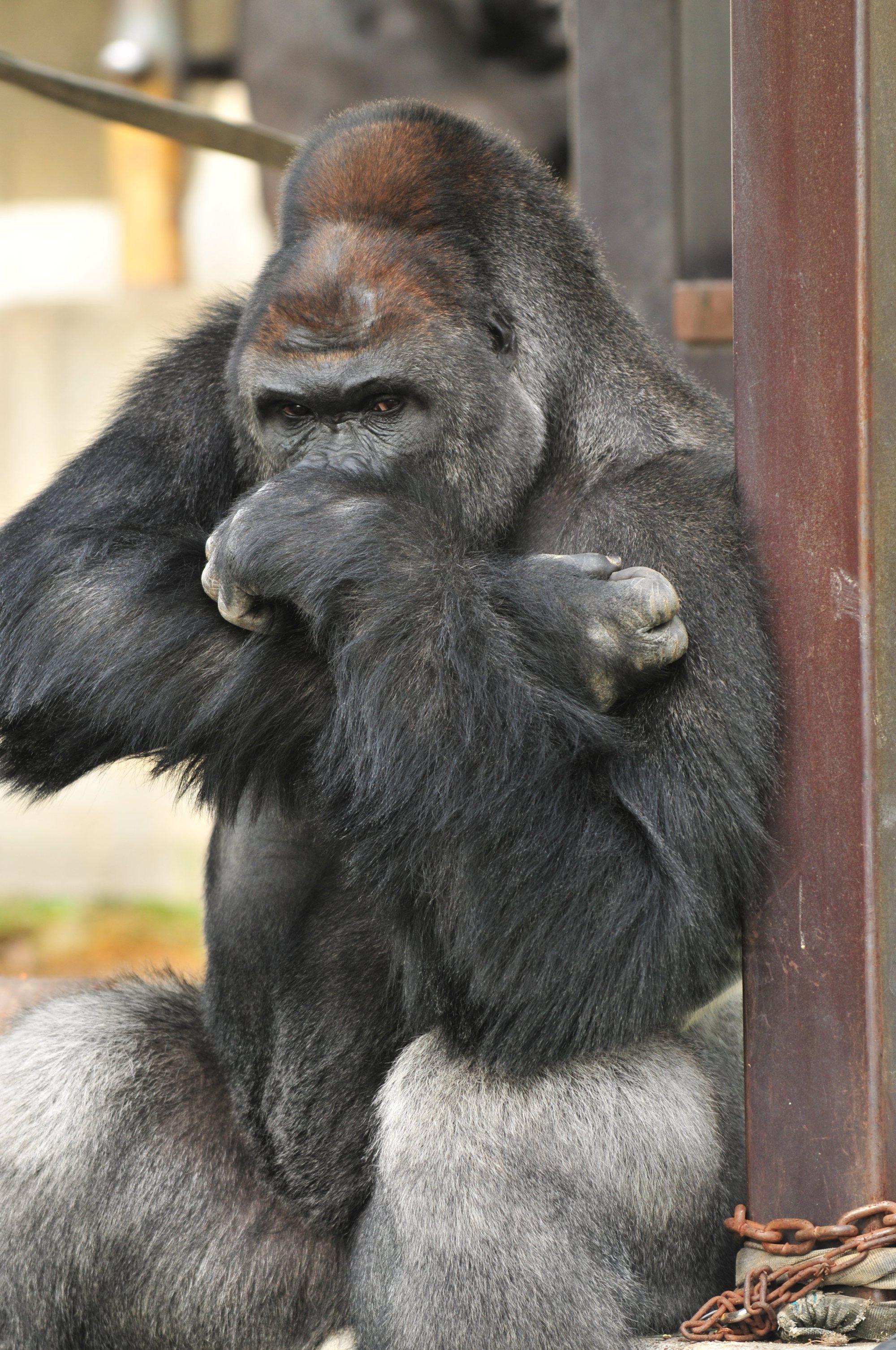 giant gorilla Google Search wildlife
