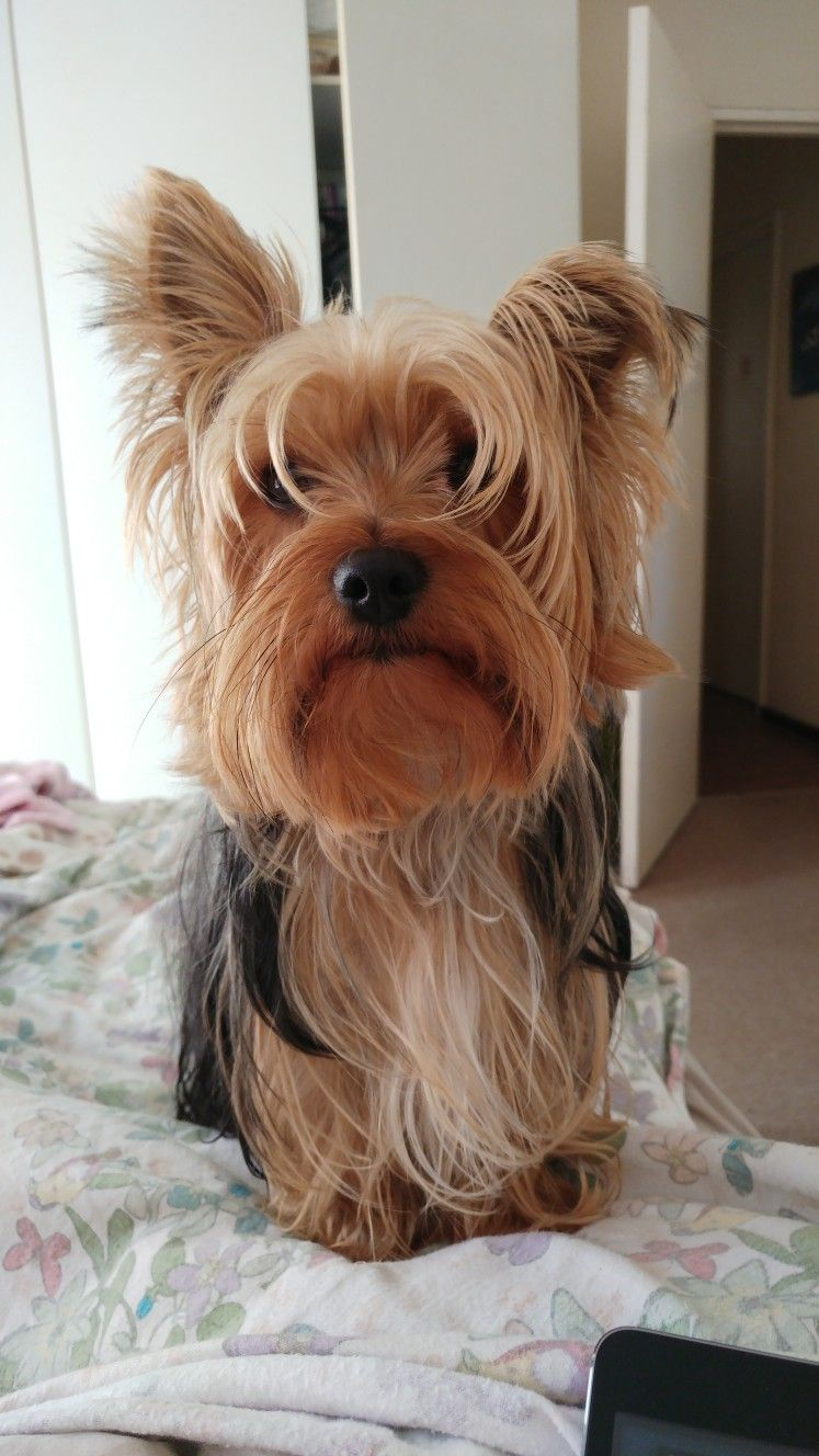 The I Want Food Glare Yorkshire Terrier Puppies Yorkie Dogs Yorkie Terrier
