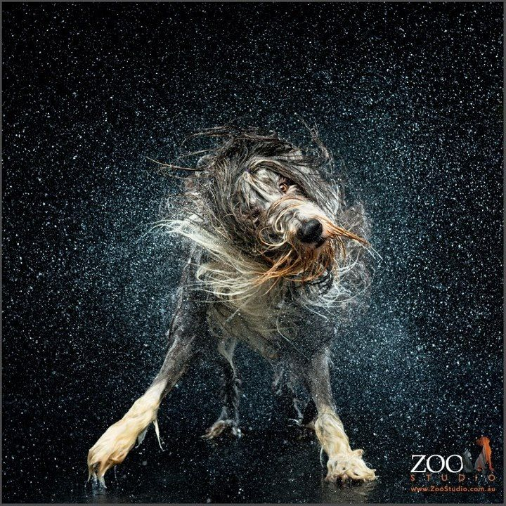 Just Shake It Off Stand Back It S A Water Shaking Dog Dog