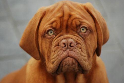 Dogue De Bordeaux Tumblr British Mastiff Mastiffs Mastiff Puppies