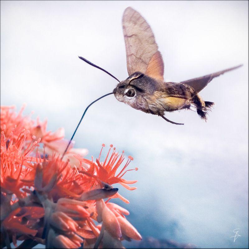 hummingbird hawk moth Hawk moth, Weird animals