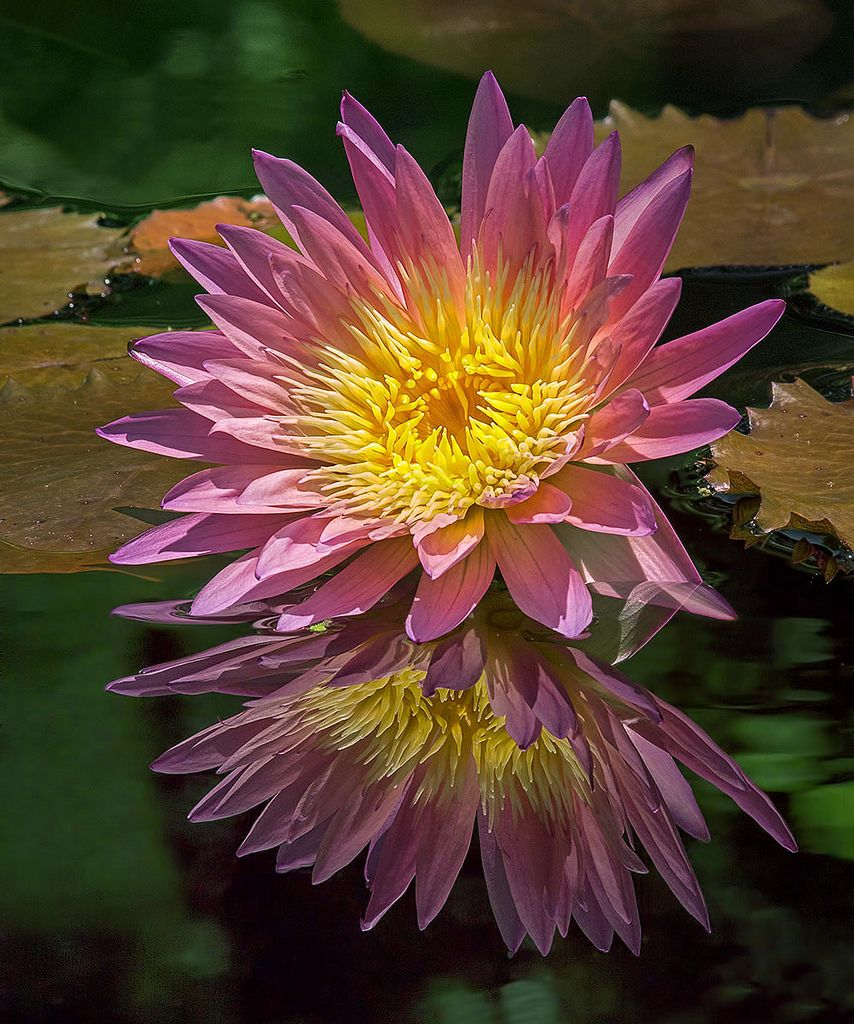Water lily in the garden nymphea pink sensation pinterest nymphea pink sensation 2012 by pedro lastra this image is copyrighted material as indicated unauthorized use or reproduction for any reason is izmirmasajfo