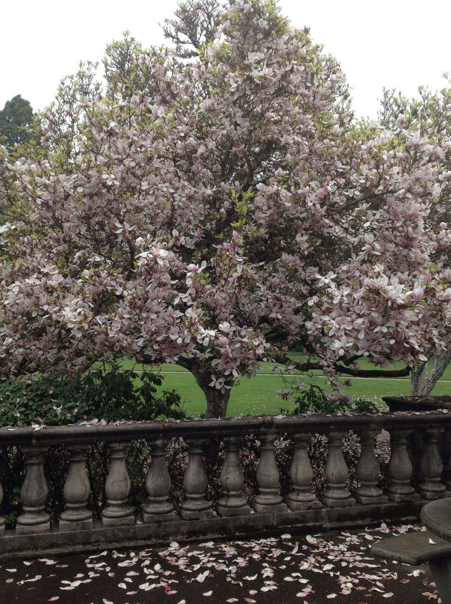 Oregon state tulip magnolia trees