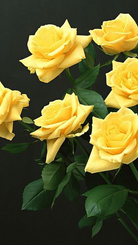 Yellow Roses Black Background Flowers 83828 640x1136 With Images