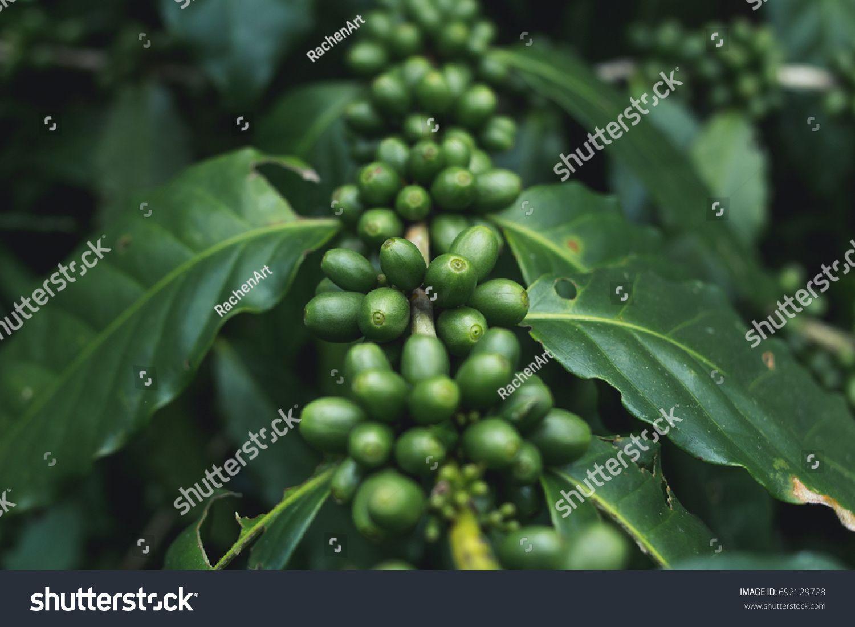 fresh Coffee tree Green coffee beans Organic ภาพประกอบ