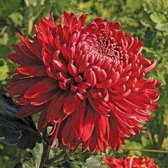 Chrysanthemum 39 Cranbrae Red 39 These Elegant Cultivars Are The Ultimate All Rounders And Ca Chrysanthemum Plant Chrysanthemum Growing Red Chrysanthemums