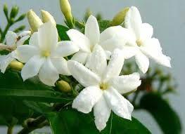 A Waft Of Jasmine On A Sunny Day Gambar Bunga Bunga Menanam