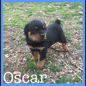 Rottweiler Puppy For Sale In Lebanon Pa Adn 27997 On Puppyfinder