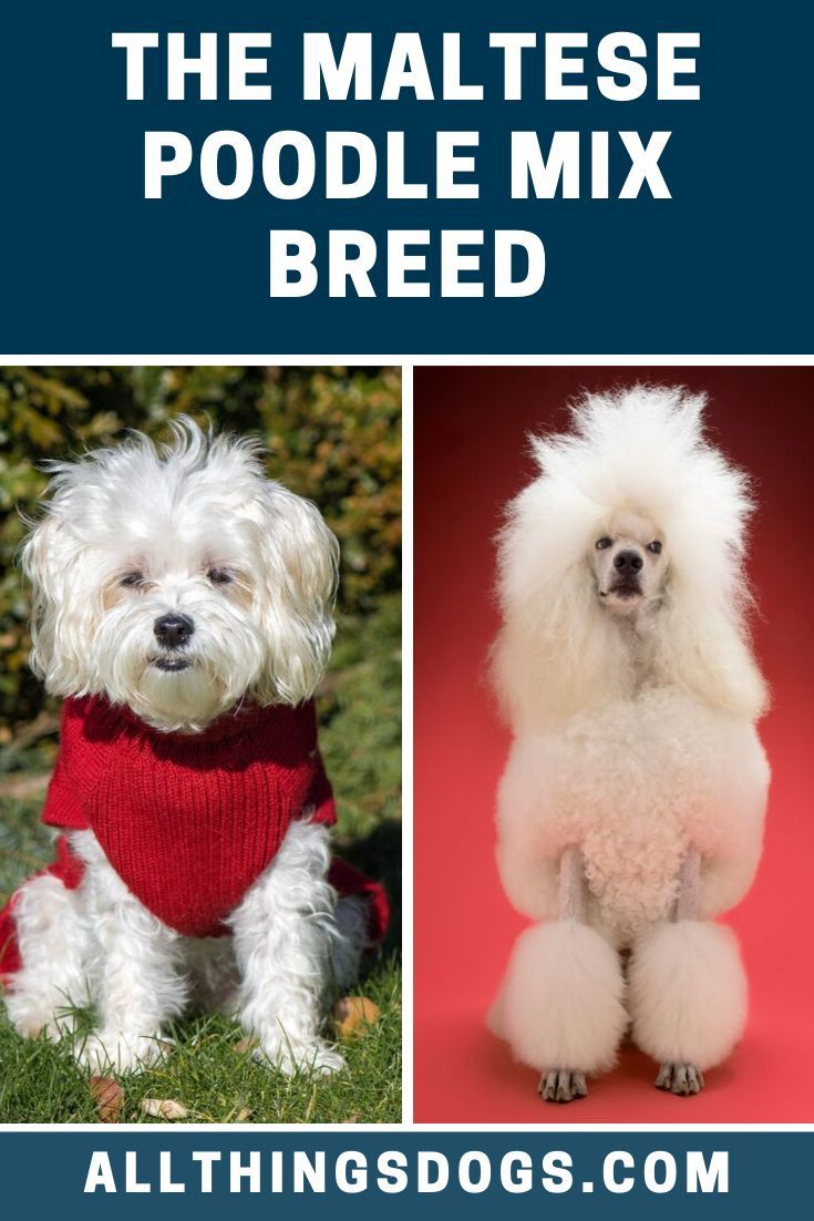 The Maltese Poodle mixed breed was designed to be a small