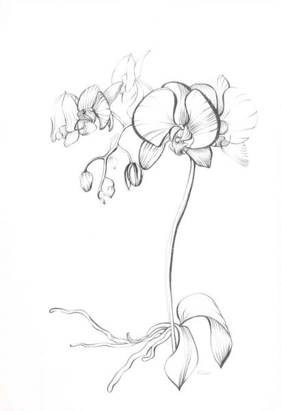 Blue Turtle Gallery Art Item With Images Orchid Drawing
