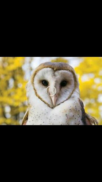 Barn Owls prefer to hunt perched on a fencebor post instead of hovering over a feild as other predatory birds