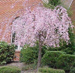 Prunus Pendula Rosea Dogwood Tree Landscaping Dwarf Trees For Landscaping Flowering Trees
