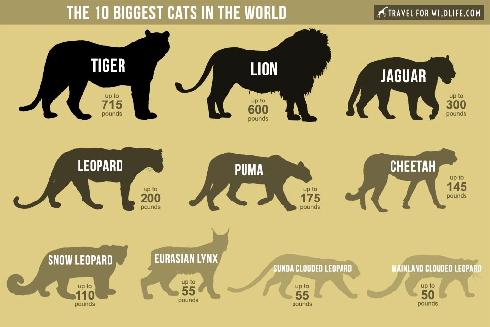 The Biggest Cats In The World Big Cats List Of Big Cats Cat Species