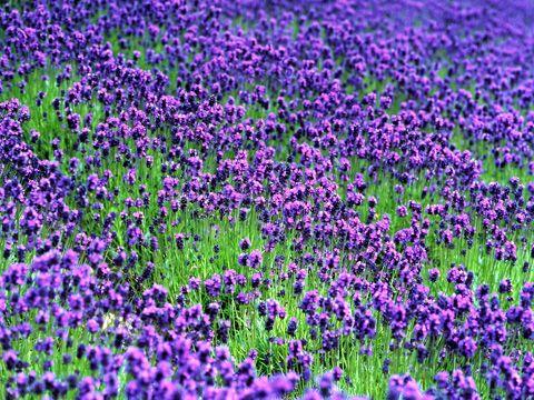 Lavender From Hokkaido Japan Gorgeous Gardens Hokkaido Tea Garden