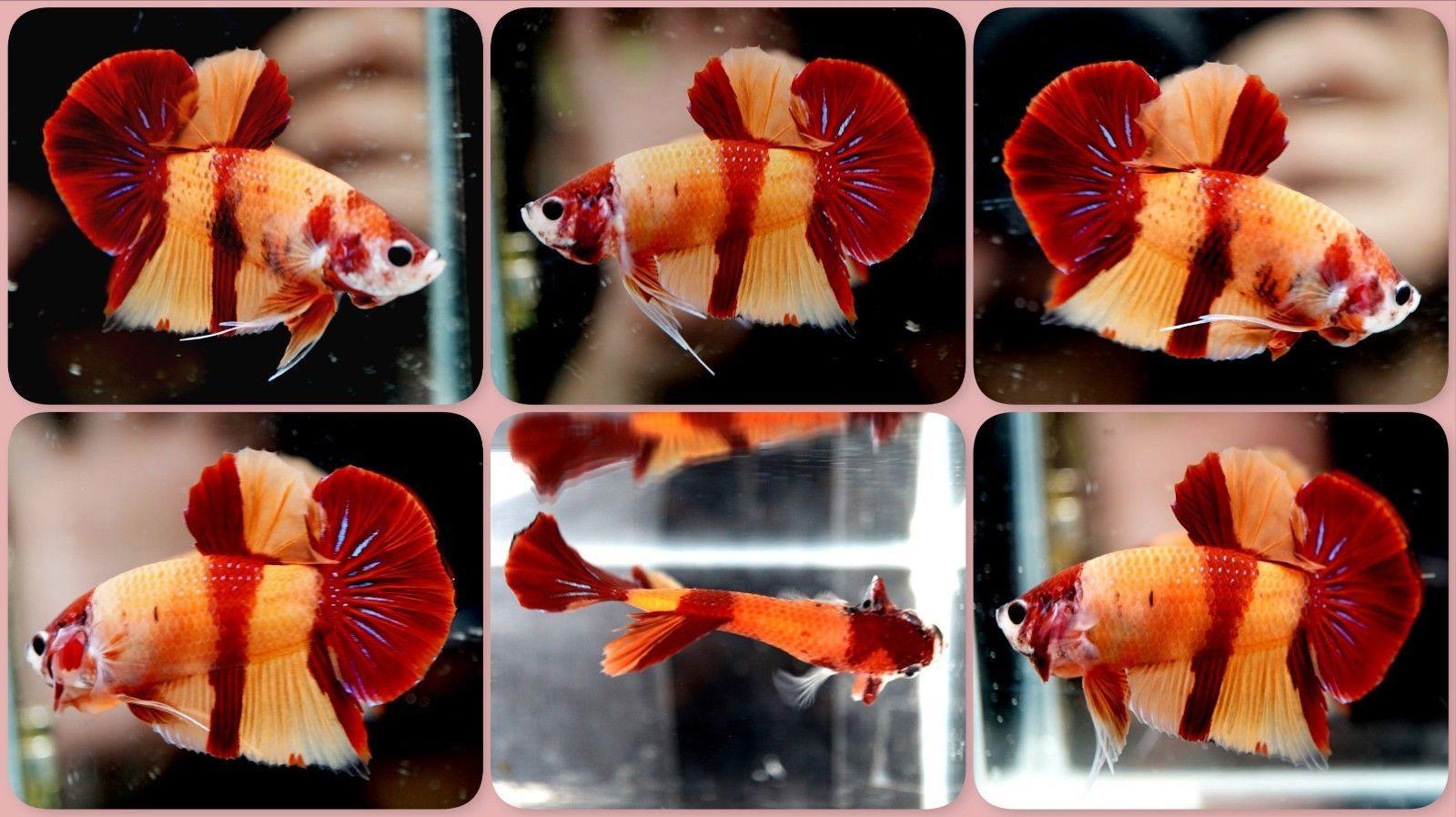 Live Betta Fish RARE AA-Grade AbsolutePerfect Nemo Koi HMPK Halfmoon ...