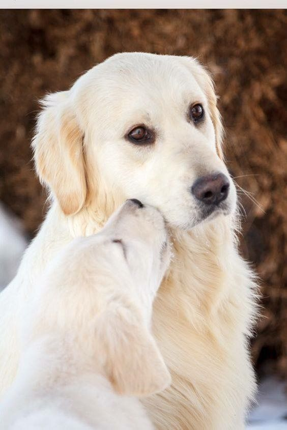 Pin By Amanda Dawson On Cute Dog Facts Dogs Golden Retriever
