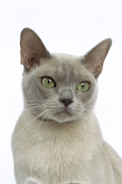 What Pretty Green Eyes She Has How I Miss Them They Are Little Baby With Fur Very Smart Cats Cats And Kittens Burmese Cat Pretty Cats