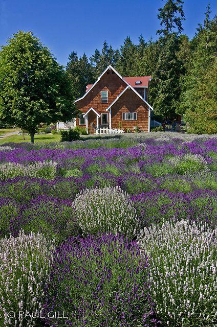 Purple Haze Lavender Farm | Tiny homes | Lavender, Wa state