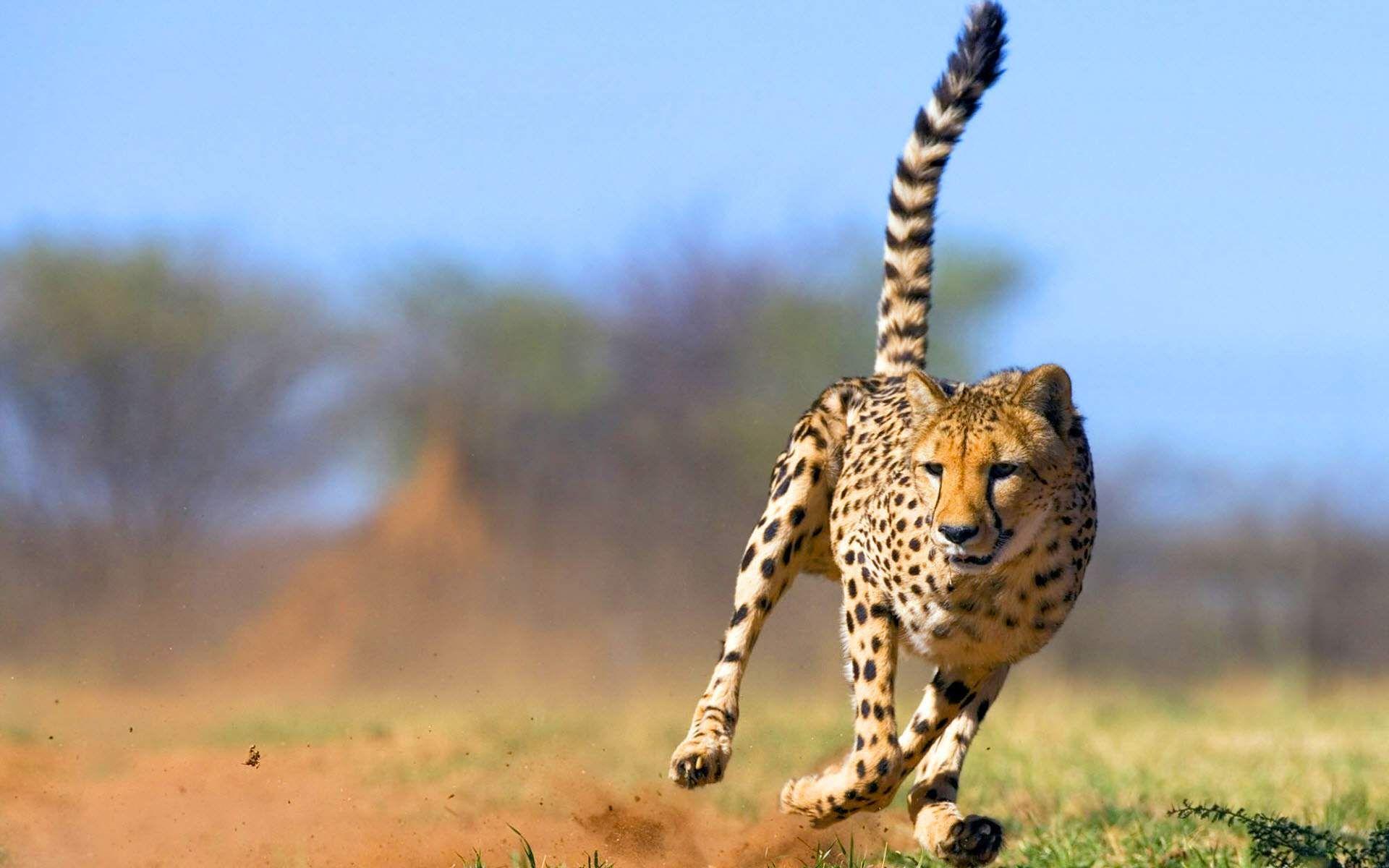 Cheetah Hd Free Wallpapers Cheetah Pictures Cheetah Animal