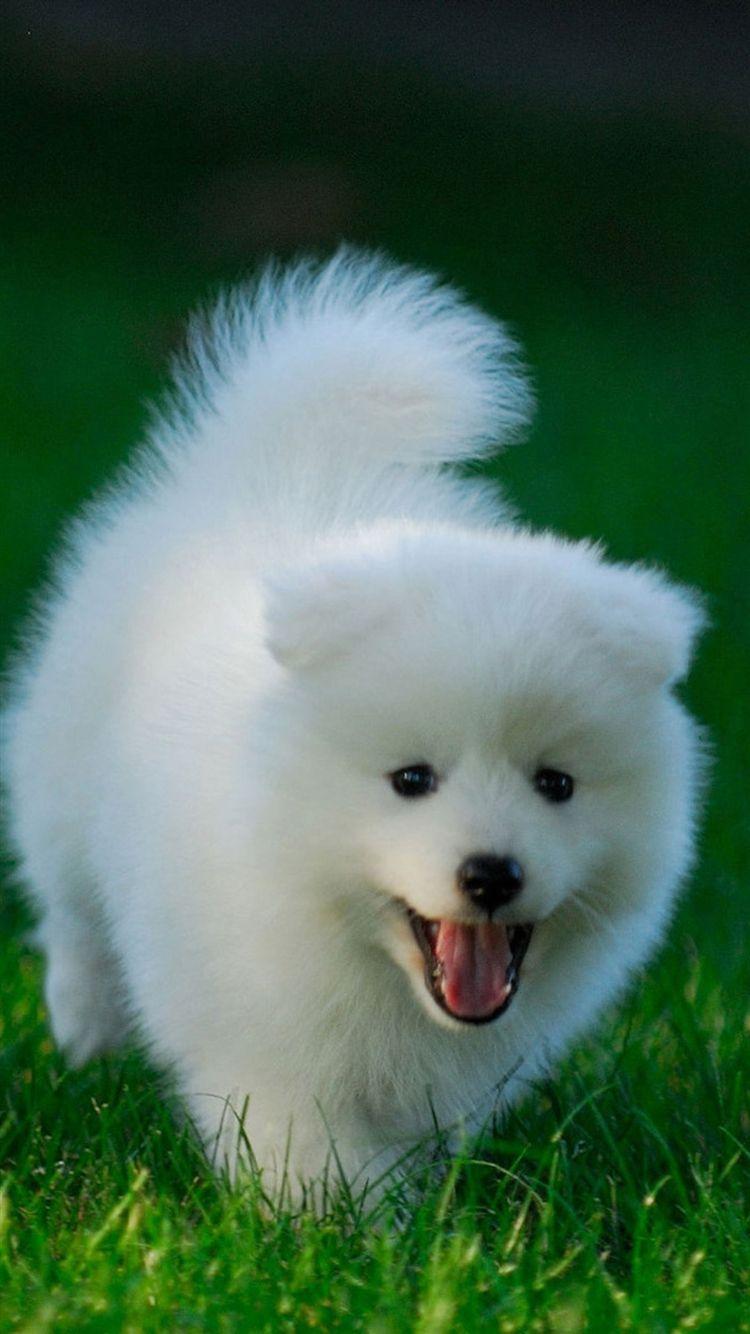 Golden retriever puppy running flickr photo sharing description