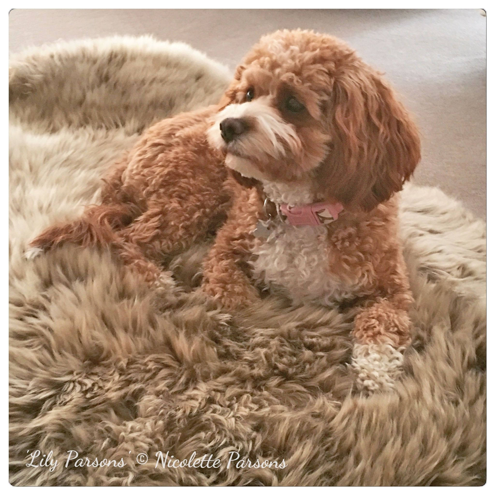 Cavoodle Adult Puppies for sale, Dogs, Puppies