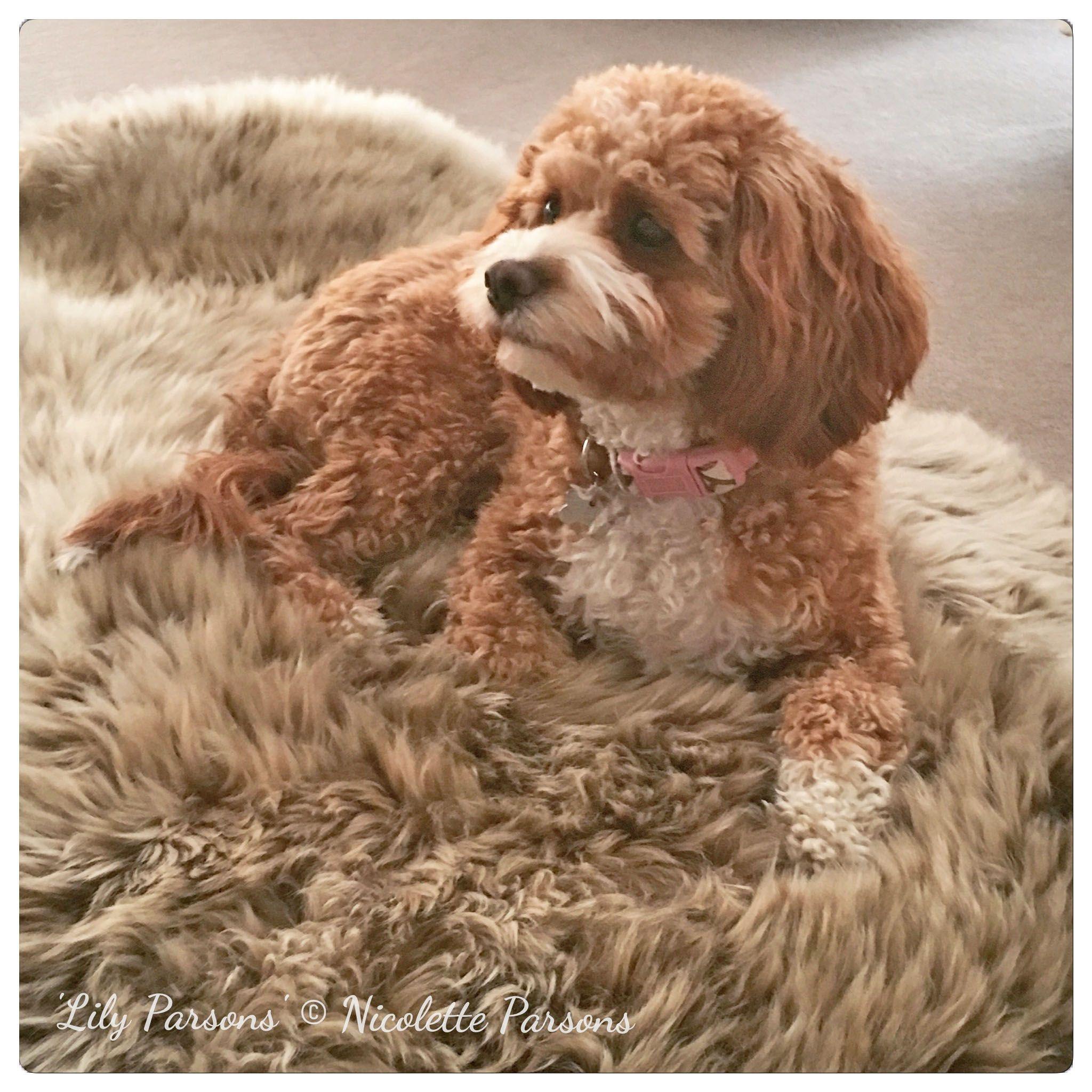 Cavoodle Puppies For Sale Puppies For Sale Puppies Dog Breeder