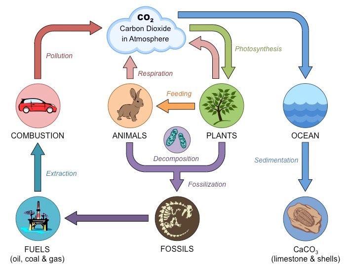 carbon cycle Education Pinterest