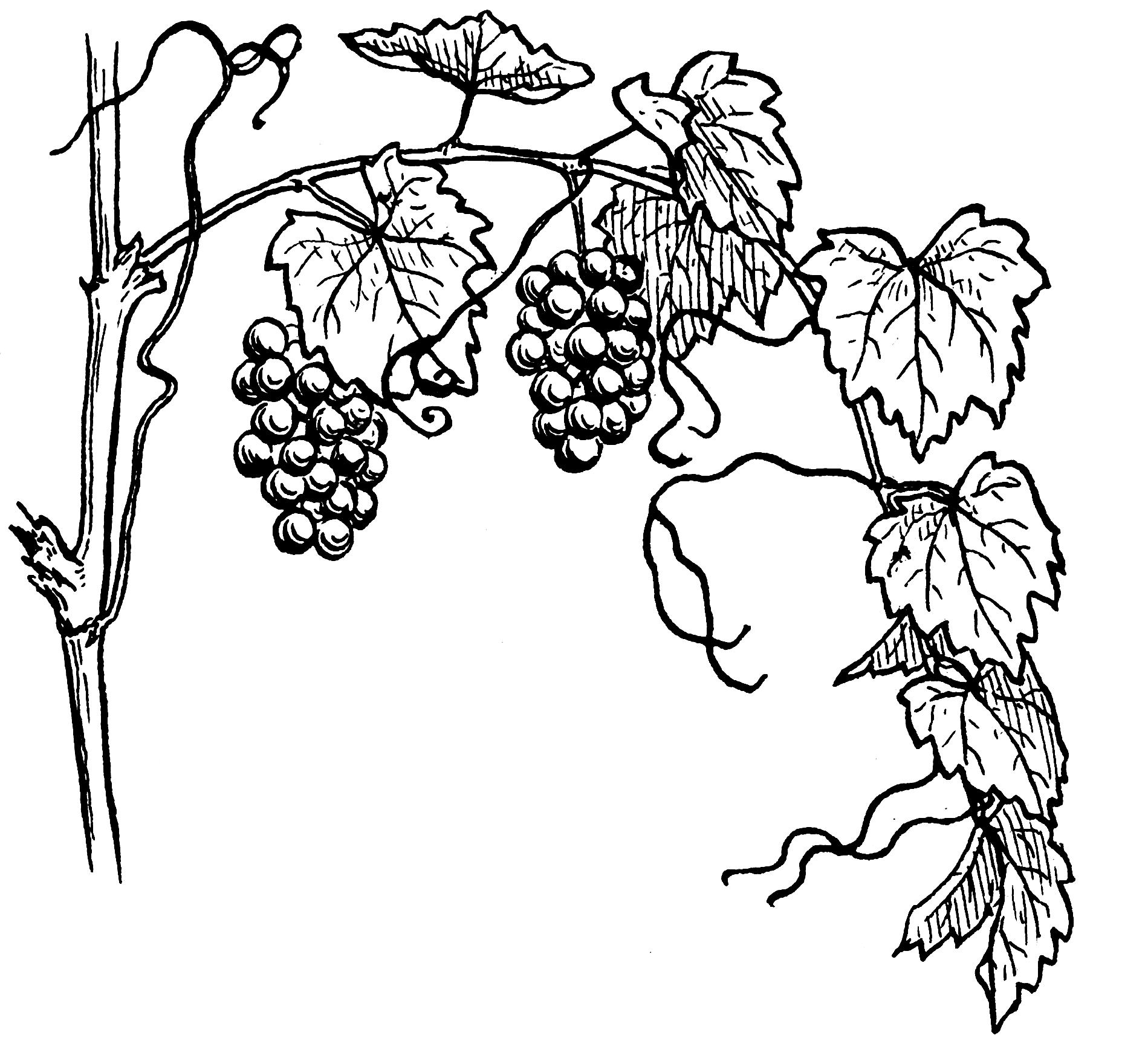виноград черно белый рисунок вам