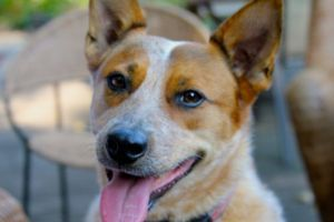 Adopt Zoey On Australian Cattle Dog Rescue Dogs Dogs