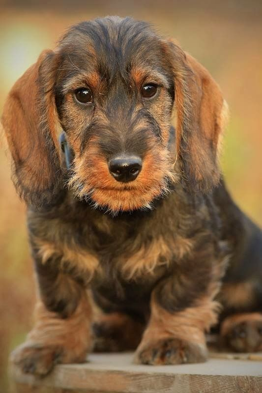 Wirehaired Dachshund Puppy Wire Haired Dachshund Funny