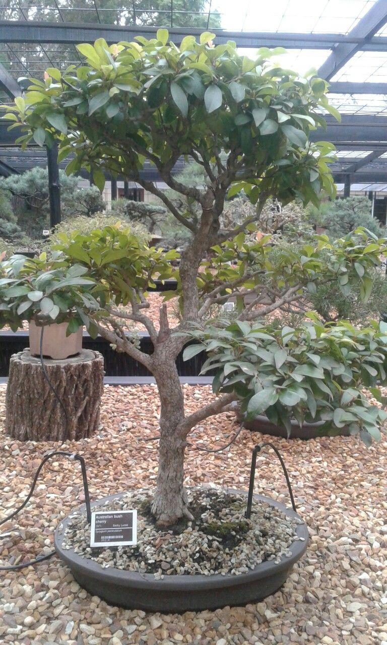 Australian Bush Cherry Indoor Outdoor Plants Outdoor Plants Plants