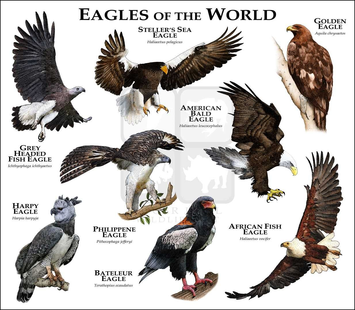 Eagles of the world by rogerdhall print image also best birds images on pinterest beautiful and loom rh