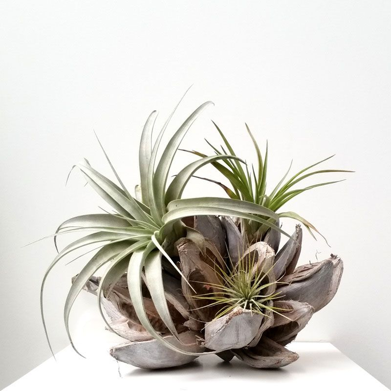50 Creative Ideas To Display Your Air Plants In A Most: 6 Creative Ideas For Displaying Air Plants In Your Home