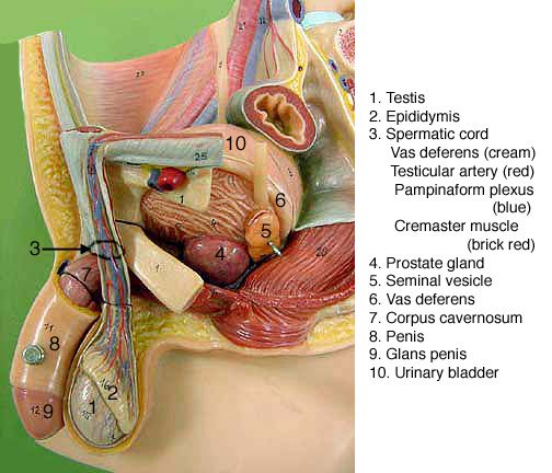 Male Reproductive System Model Google Search Reproductive