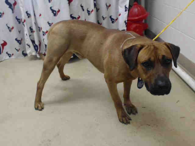 04/05/16--HOUSTON- -EXTREMELY HIGH KILL FACILITY -This DOG - ID#A456062 I am a male, brown and white Mastiff mix. My age is unknown. I have been at the shelter since Apr 05, 2016. This information was refreshed 23 minutes ago and may not represent all of the animals at the Harris County Public Health and Environmental Services.