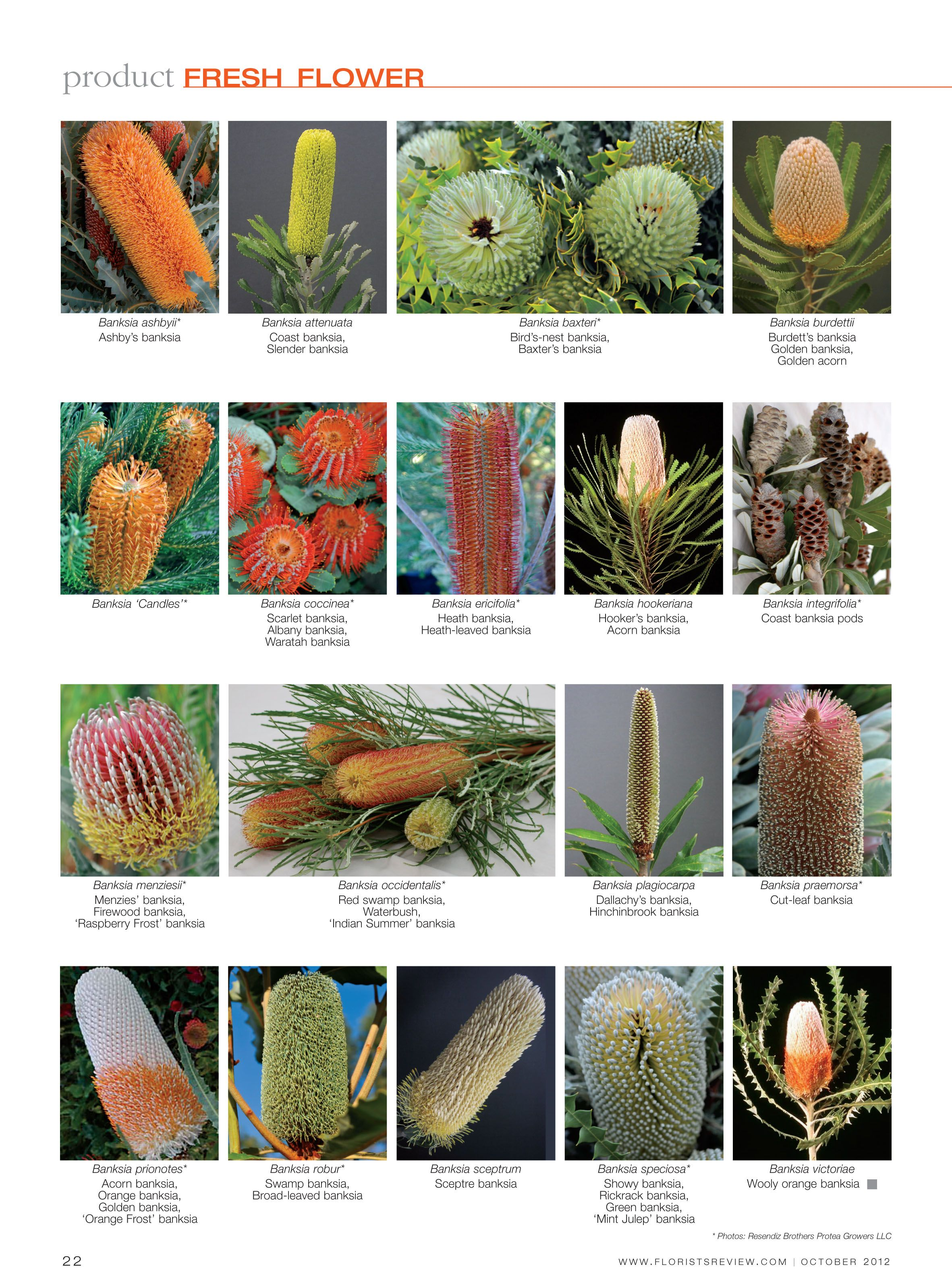 Flowers Banksia Page 2 Of 2 Australian Native Flowers Flower Names Planting Flowers