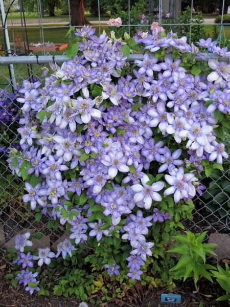 Photo Of Clematis Blue Light Uploaded By Goldfinch4 Clematis Plants Beautiful Flowers