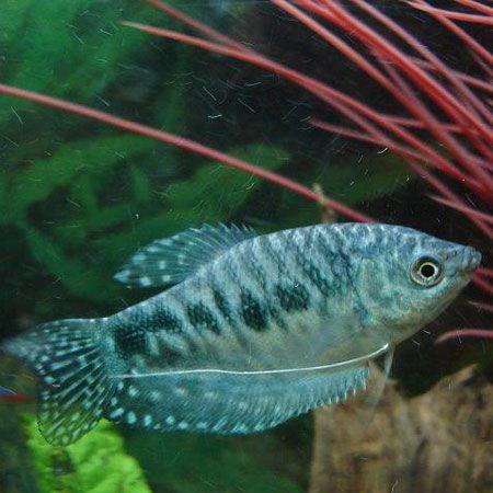 Opaline Gourami Our Aquarium Pinterest Opaline Fish