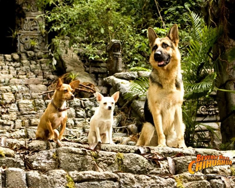 Elite German Shepherds Famous Gsd S Beverly Hills Chihuahua