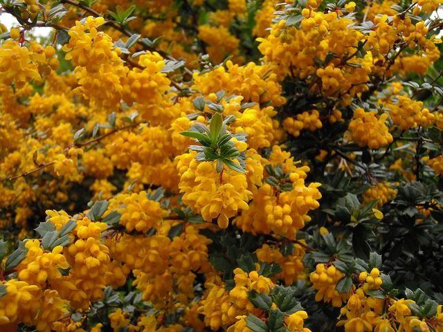 Darwin Barberry Berberis Darwinii Flowering Shrubs Autumn Garden