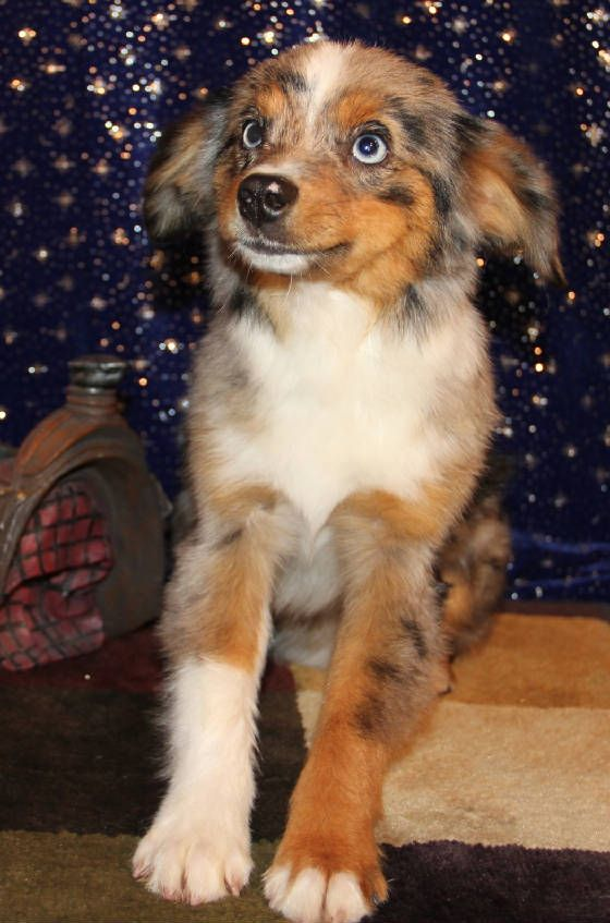 Blue Merle Toy Aussie Puppies With Blue Eyes In Co Me Md Ma Mi