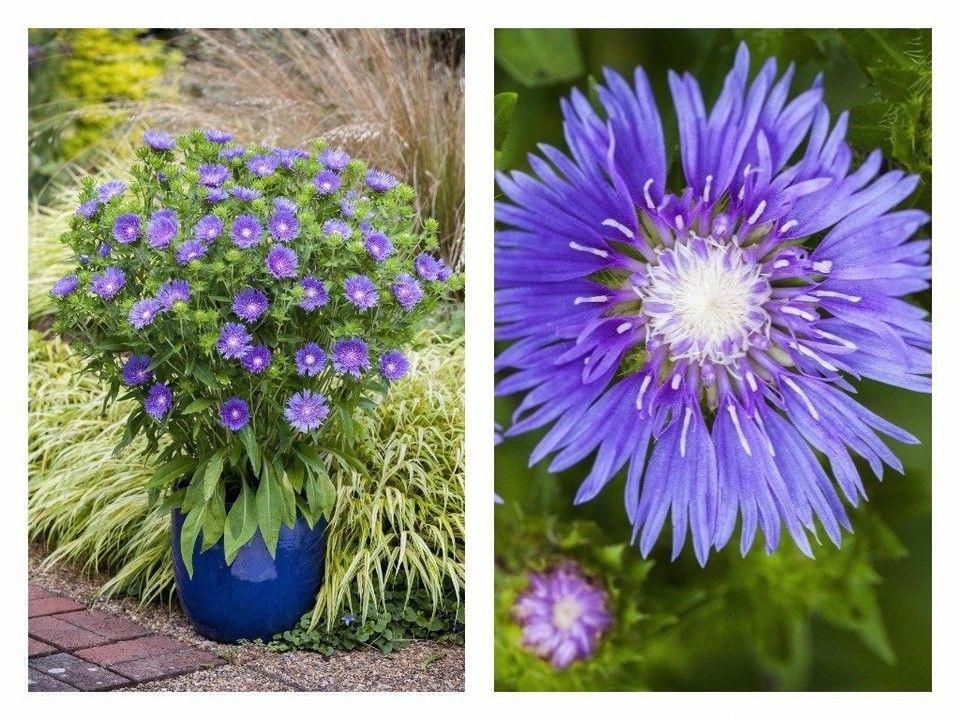 Stoke S Aster Blue Frills Containergardening