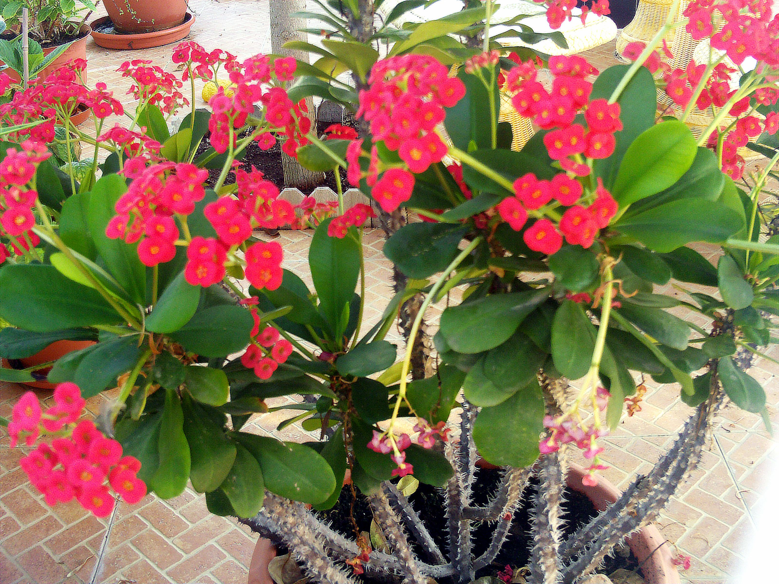 Euphorbia milii pesquisa google euphorbia pinterest for Crown of thorns plant