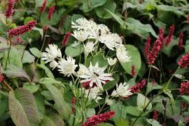 Image result for astrantia