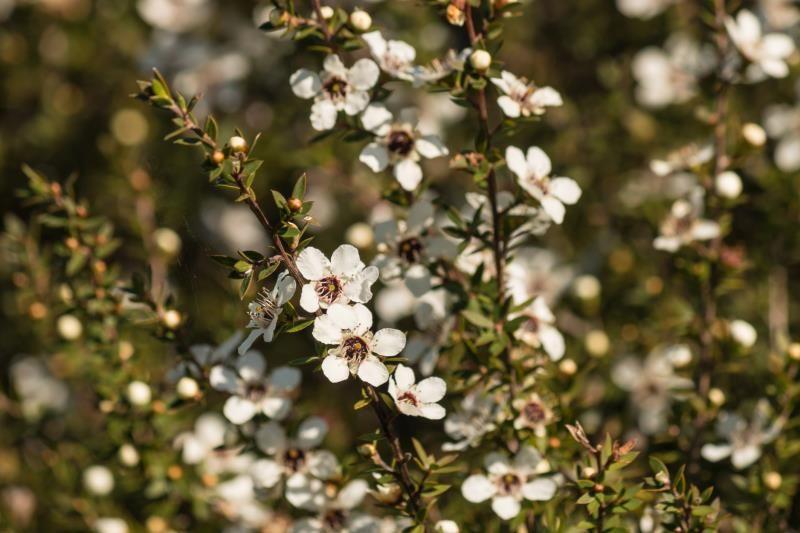 Tea Tree Oil for Receding Gums Receding gums, Tea tree
