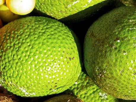 Breadfruit - Gluten free, versatile, nutritious! From flour to a milk....