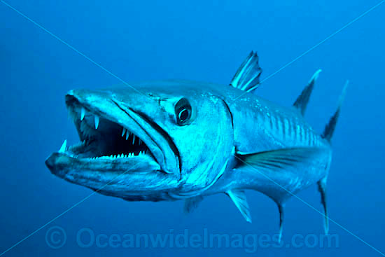 Great Barracuda Sphyraena Barracuda Found Throughout All Tropical Seas Photo Taken At Great Barrier Reef Queensland Aus Salt Water Fishing Fish Lion Fish
