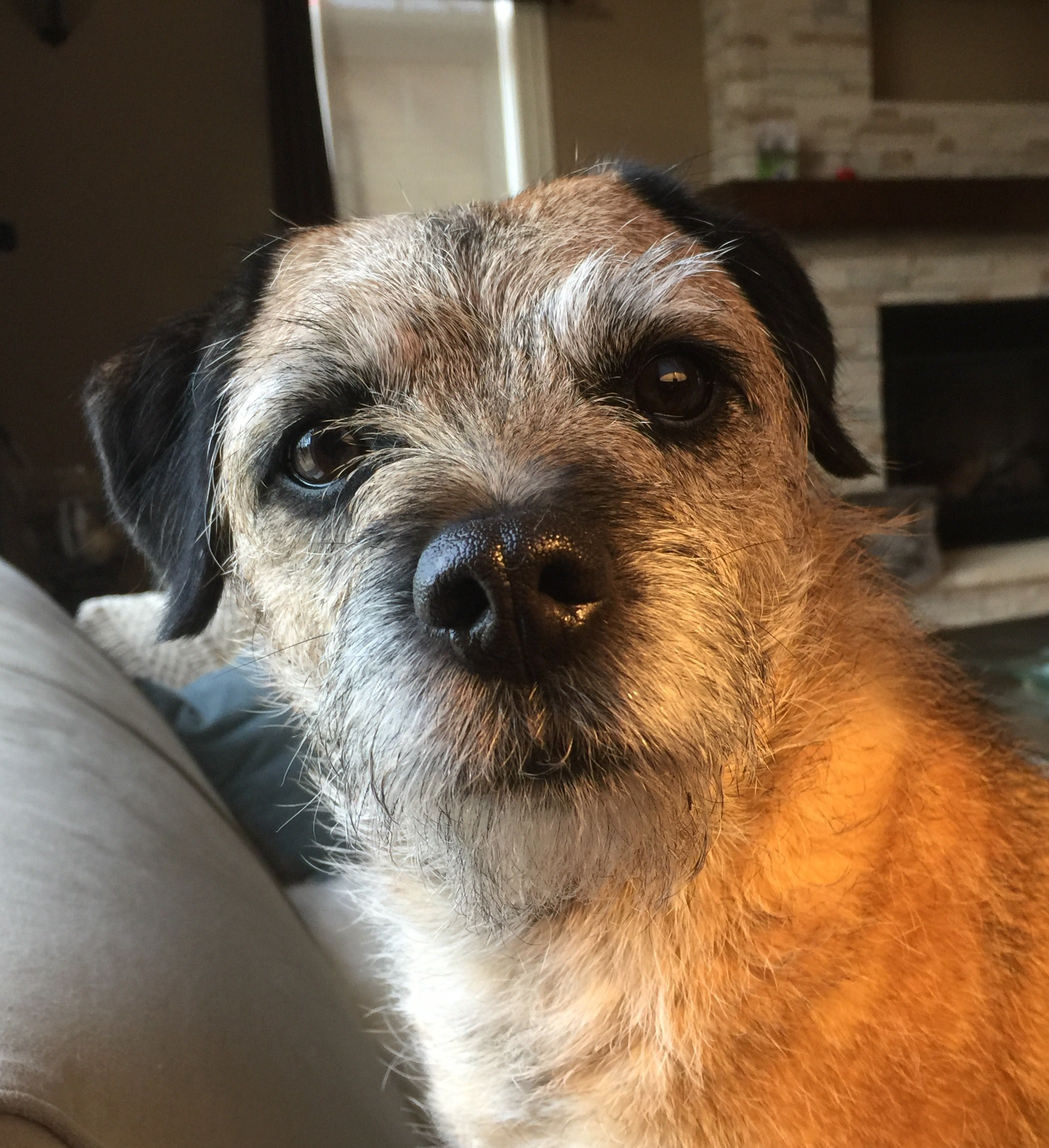 Does My Nose Look Big To You Brillo The Border Terrier Border